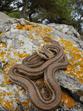 A Four-Lined Snake (Elaphe Quatuorlineata) on a Rock  Croatia