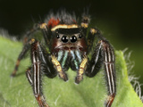 Colorful Jumping Spider on a Green Leaf