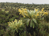 Frailejon (Espeletia)In the High Altitude Grasslands of Puracâ» National Park  Department Cauca