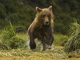 Brown Bear (Ursus Arctos) Chasing Pink Salmon in a Spawning River in Katmai National Park  Alaska