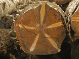 Cross-Section of the Trunk of a Pacific Silver Fir (Abies Amabilis) Showing Branches