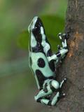 Green and Black Poison Frog (Dendrobates Auratus)  Cahuita National Park  Costa Rica