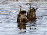 American Black Ducks (Anas Rubripes) Feeding