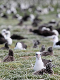 Laysan Albatross (Phoebastria Immutabilis) Nesting Ground  Midway Atoll National Wildlife Refuge