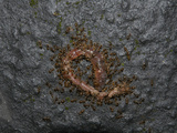 Ants Eating a Dead Earthworm