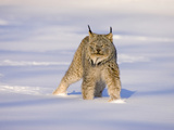 Eurasian Lynx (Lynx Lynx) Standing in the Snow