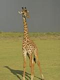 Maasai Giraffe on the Savanna with a Storm Cloud in the Distance  Giraffa Camelopardalis  Kenya