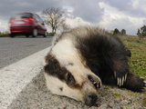 A European Badger (Meles Meles) Killed on a Road  Europe