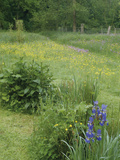 Wildflower Meadow with Iris's  Buttercups