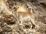 Walia Ibex Female (Capra Walie)  Simien Mountains National Park  Ethiopia