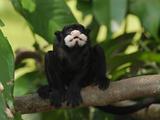 Moustached Tamarin (Saguinus Mystax)  Pacaya-Samiria National Park  Peru