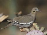 White-Winged Dove  Zenaida Asiatica  Arizona  USA