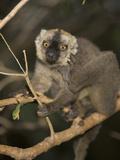 Brown Lemur (Eulemur Fulvus) in a Tree  Madagascar