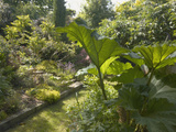 Jungle Garden Featuring Giant Rhubarb (Gunnera Manicata)