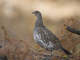 Blue Grouse  Dendragapus Obscurus  Western North America