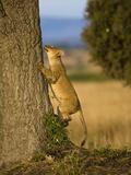 African Lion Climbing a Tree (Panthera Leo)  Masai Mara  Kenya