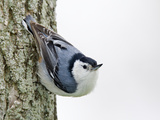 White-Breasted Nuthatch (Sitta Carolinensis)  Ontario  Canada