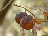 Oak Apple Galls Which Contain Larvae of the Gall Wasp (Andricus Californicus)