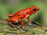 Strawberry Poison Dart Frog (Dendrobates Pumilio)  Bastimentos National Park  Bocas Del Toro