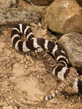 California Kingsnake Lampropeltis Getula Californiae) Eating a Rattlesnake (Crotalus)  California