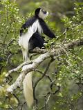 Black and White Colobus Monkey (Colobus Guereza) Sitting in a Tree  Masai Mara  Kenya