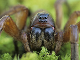 Burrowing Wolf Spider (Geolycosa Missouriensis) Showing its Multiple Eyes  Ohio  USA