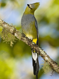 Long-Tailed Silky-Flycatcher (Ptilogonys Caudatus)  Central America