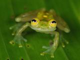Male Fleischmann's Glass Frog (Hyalinobatrachium Fleischmanni)  San Cipriano Reserve  Cauca