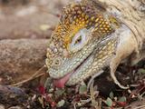 Galapagos Land Iguana (Conolophus Subcristatus) Eating  North Seymour Island  Galapagos