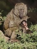 Olive Baboon (Papio Anubis) Bonding with Young in Tree  Samburu Game Reserve  Kenya  Africa