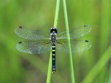 Female Elfin Skimmer Dragonfly (Nannothemis Bella)  Ohio  USA
