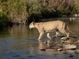 Female Lion (Panthera Leo) Crossing Stream in the Masai Mara Game Reserve  Kenya