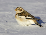 Snow Bunting (Plectrophenax Nivalis) in Snow  Maine  USA