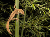 Lined Leaf-Tailed Gecko (Uroplatus Lineatus)  Madagascar  Captivity
