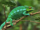 Male Panther Chameleon (Furcifer Pardalis) Lokobe Nature Special Reserve  Northern Madagascar