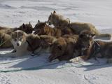 Husky Dog Team Resting  Qaanaaq Greenland