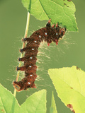 Oslar&#39;s Eacles Moth Larva or Caterpillar (Eacles Oslari) Eating a Leaf  Family Saturniidae  Arizona