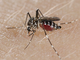 A Tiger Mosquito Feeding on Human Blood (Aedes Albopictus)