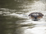 American Beaver Swimming (Castor Canadensis)  North America