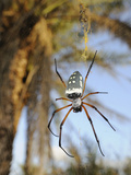 The Giant Spider (Nephila Sumptuosa) in Web  Socotra  Yemen