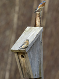 Pair of Eastern Bluebirds (Sialia Sialis) on Nest Box  Maine  USA