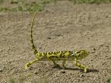 Flap-Necked Chameleon Walking (Chamaeleo Dilepis)  Southern Africa