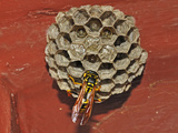 European Paper Wasp (Polistes Dominulus) Queen Feeding a Larva in a Nest on a House Wall