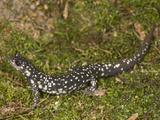 Atlantic Coast Slimy Salamander  Plethodon Chlorobryonis  Eastern North America