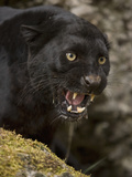 Leopard or Black Panther (Panthera Pardus)
