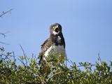 Southern Banded Snake Eagle (Circaetus Fasciolatus) Calling  Masai Mara Game Reserve  Kenya  Africa