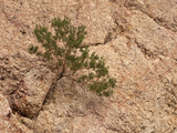 Juniper Growing from a Crack in a Dolomite Rock  Mojave Desert  California  USA