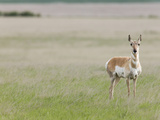 Pronghorn on the Short-Grass Prairie  Antilocapra Americana