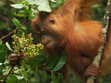 Borneo Orangutan Eating Fruits (Pongo Pygmaeus) Tanjung Puting National Park  Kalimantan