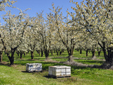 Commercial Bee Hives Placed in a Cherry Orchard in the Spring  Southwest Oregon  USA